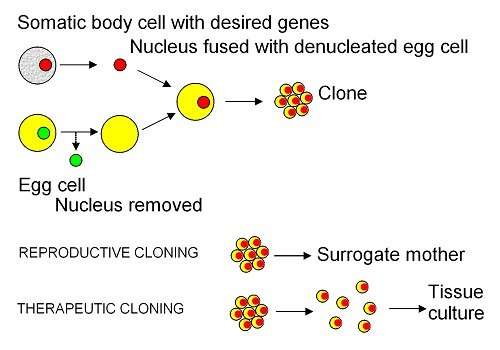 Diagram showing the SCNT process, where a nucleus is removed from an egg cell, and replaced with the nucleus of a cell from the animal you wish to clone. In reproductive cloning, this is placed in a surrogate mother. In therapeutic cloning, the cells create a tissue culture.