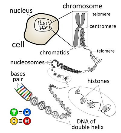 Diagram showing a chromosome within the nucleus of a cell. The chromosome can be unravelled to reveal a chain of DNA. This is shaped as a double helix composed of base pairs, designated T and A, and C and G.