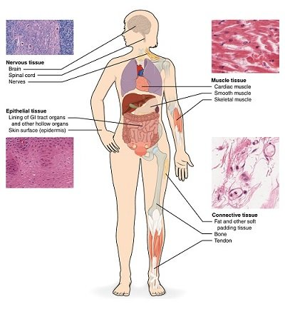 Diagram of human with various types of tissue highlighted. Nervous tissue is found in the brain and spinal cord, muscle tissue in the heart and muscles, connective tissue in bones and tendons, and epithelial tissue in the skin and intestinal lining.