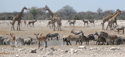 Photograph of different species, including giraffes and zebras, sharing a waterhole.